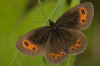 Boserebia (Erebia ligea)