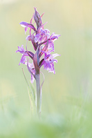 Brede orchis (Dactylorhiza majalis)