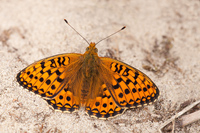 Duinparelmoervlinder (Argynnis niobe)