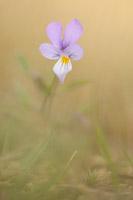 Duinviooltje (Viola curtisii)