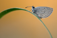 Dwergblauwtje (Cupido minimus)