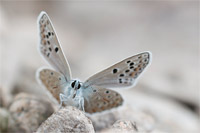 Esparcetteblauwtje (Polyommatus thersites)