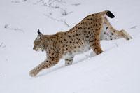 Europese lynx (Lynx lynx)