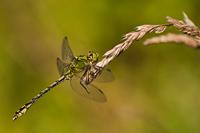 Gaffellibel (Ophiogomphus cecilia)