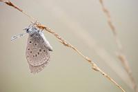 Gentiaanblauwtje (Maculinea alcon)