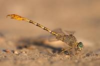 Gestreepte haaklibel (Paragomphus lineatus)