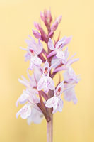 Gevlekte orchis (Dactylorhiza maculata)