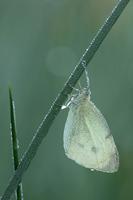 Groot koolwitje (Pieris brassicae)
