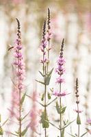 Grote kattenstaart (Lythrum salicaria)