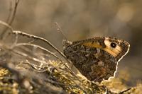 Heivlinder (Hipparchia semele)