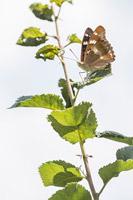 Kleine weerschijnvlinder (Apatura ilia)