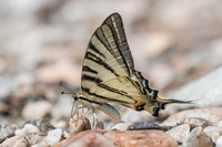 Koningspage (Iphiclides podalirius)