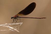 Koperen beekjuffer (Calopteryx haemorrhoidalis)