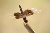 Mantelgrondlibel (Brachythemis fuscopalliata)