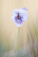 Moerasviooltje (Viola palustris)