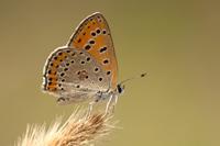 Oostelijke vuurvlinder (Lycaena thersamon)