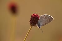 Pimpernelblauwtje (Phengaris teleius)