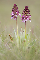 Purperorchis (Orchis purpurea)