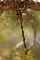 Schemerlibel (Boyeria irene)