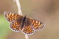 Spaanse parelmoervlinder (Melitaea deione)