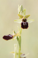 Spinnenorchis (Ophrys sphegodes)