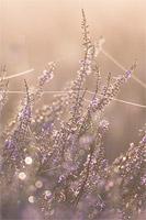 Struikheide (Calluna vulgaris)