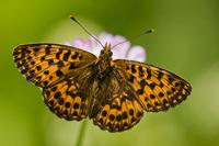 Titania's parelmoervlinder (Boloria titania)