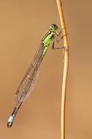 Tyrrheens lantaarntje (Ischnura genei)