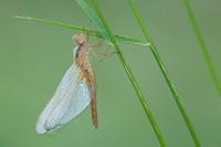 Vuurlibel (Crocothemis erythraea)