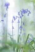 Wilde hyacint (Hyacinthoides non-scripta)
