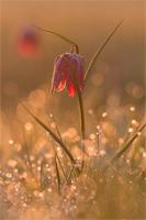 Wilde kievitsbloem (Fritillaria meleagris)