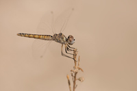 Windvaantje (Selysiothemis nigra)