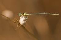 Witte breedscheenjuffer (Platycnemis latipes)