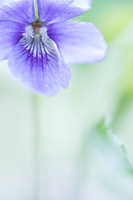 Wonderviooltje (Viola mirabilis)