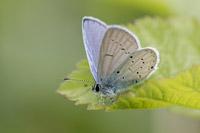 Zuidelijk staartblauwtje (Cupido alcetas)