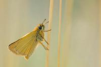 Zwartspriet dikkopje (Thymelicus lineola)