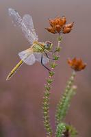 Zwervende heidelibel (Sympetrum fonscolombii)