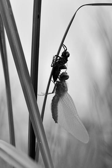 Bruine korenbout door Patrick Loffeld