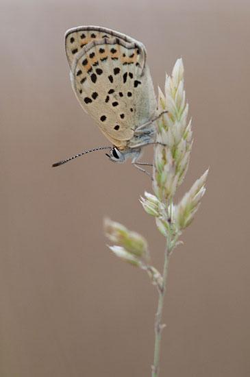 Foto van een vuurvlinder tijdens mijn workshop vlinders fotograferen op de Hoge Veluwe.