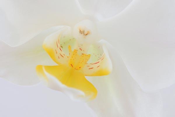 Focus-stack van een orchidee