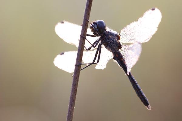 Zwarte heidelibel tijdens een workshop macrofotografie