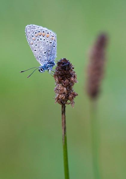 Slapend icarusblauwtje door Sven Bontenbal